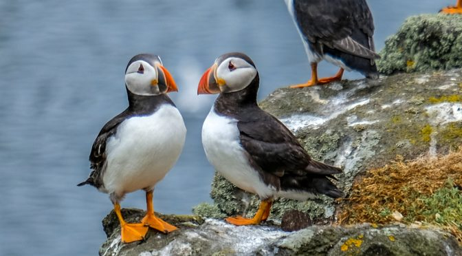 99,999 Puffins on the Wall.  The Isle of May