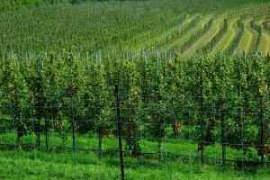 Gay Mills Apple Orchard