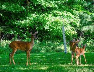 Pike's Peak Deer