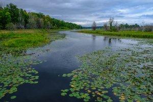 Moose Lake Water Lillies