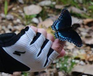 Piedmont Butterfly
