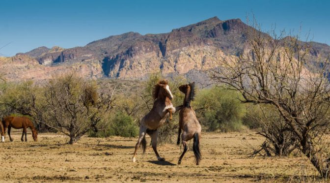 Wild Horses of the Lower Salt River